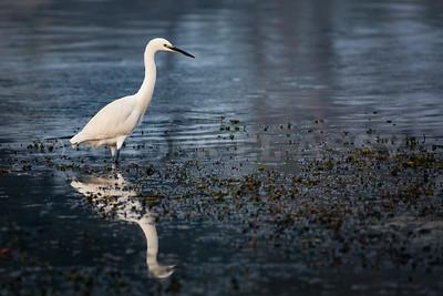 Little White Egret in Blues