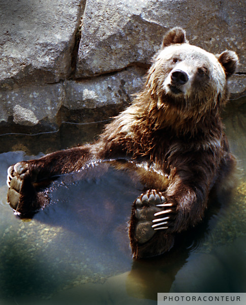 """""""Grizzly"""" ~ Grizzly bear hangin' out at the zoo, being not so grizzly."""