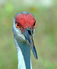 "Portrait of a Sand Hill Crane 2<br />  <a href=""https://www.etsy.com/listing/104413224/fine-art-framed-8x10-photo-sandhill"">https://www.etsy.com/listing/104413224/fine-art-framed-8x10-photo-sandhill</a>"