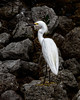 Great Egret of Sanibel