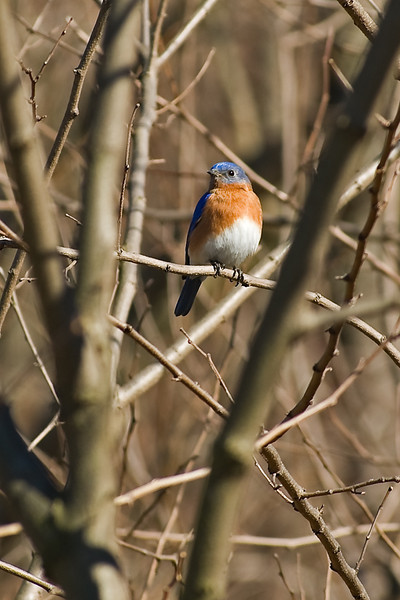 Bluebird in a cage