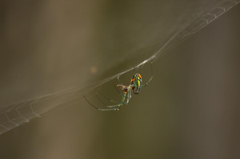 Cobweb spider with prey