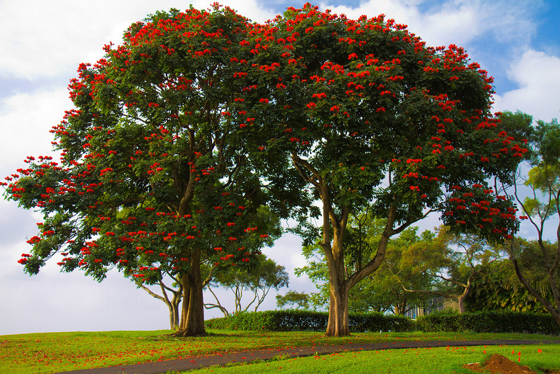 A tree in Kauai Hawaii