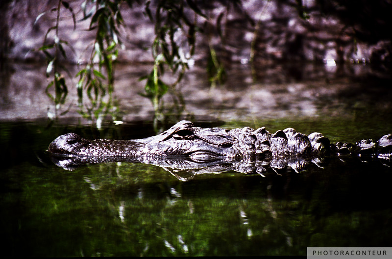 """Gator!"" ~ An ominous alligator floats by with a reflection of itself in a Kiawah Island pond."
