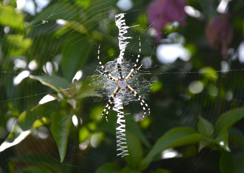 Silver Faced Spider