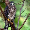 "Broad-winged Hawk @ Carolina Raptor Center<br /> ""DC"""