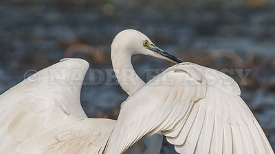 Little White Egret Dance