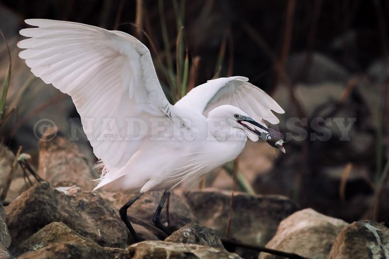 Little White Egret Breakfast