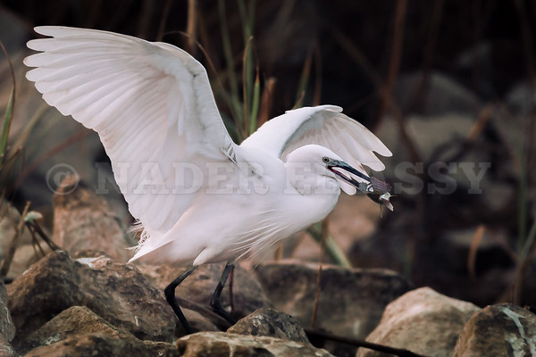 Little White Egret Breakfast