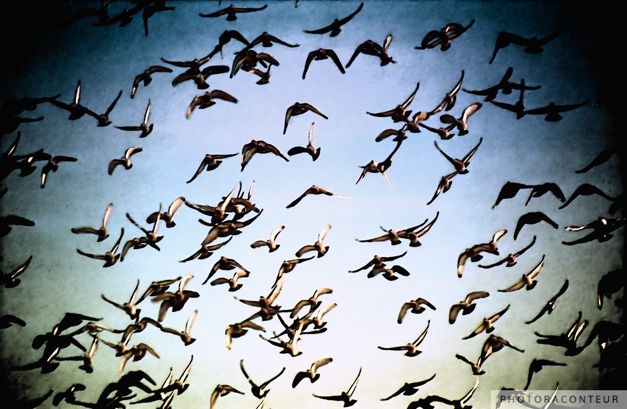 """Harbor Flock"" ~ A flock of sea birds fly over Charleston Harbor in South Carolina."