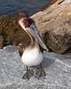 Pelican Of Venice