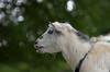Dreaming goat