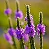 Flowering Vervain