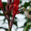 Hummingbird sipping nectar from a canna lily flower