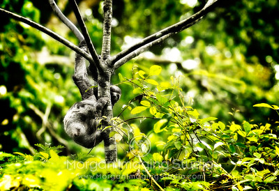 Sloth, Hanging In the Peruvian Amazon