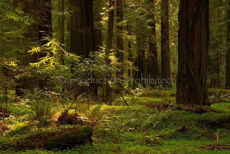 Renewal Humboldt Redwoods S.P., CA. March 2013