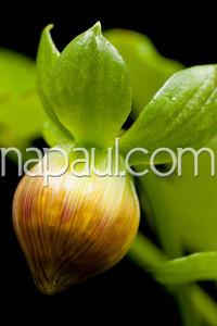 Dahlias Bud Photography by Naomi Clarke