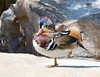 "A Duck Out of Water<br />  <a href=""https://www.etsy.com/listing/104412189/fine-art-framed-8x10-photo-mandarin-duck"">https://www.etsy.com/listing/104412189/fine-art-framed-8x10-photo-mandarin-duck</a>"