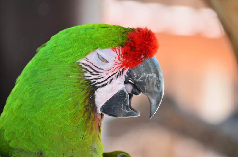 Green macaw 2