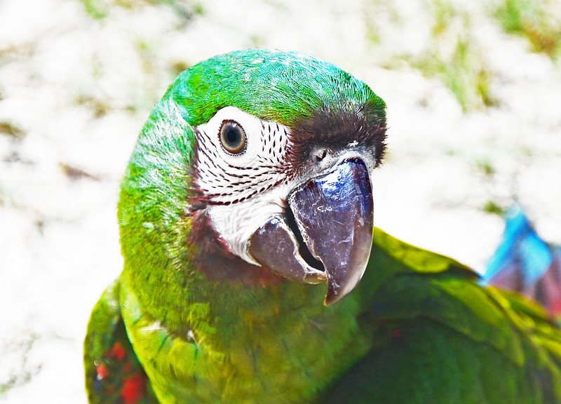 Young Parrot