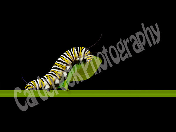 Monarch catterpillar.