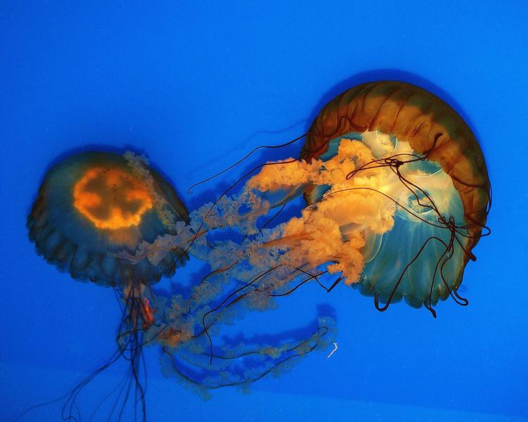Jelly Fish 1