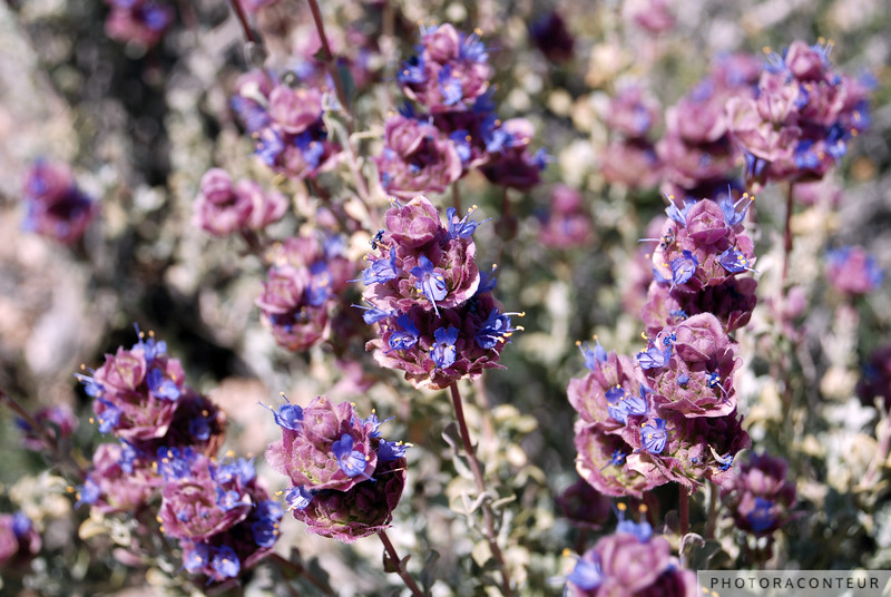 """""""Mojave Violet"""" ~ Blue & violet colored wildflowers found in Red Rock Canyon near Las Vegas, Nevada."""