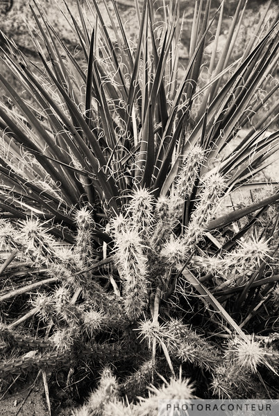 """Yucca & Cactus No. 2"" ~ Yucca intertwined with Cholla Cactus within the Red Rock Canyon National Conservation Area near Las Vega, Nevada.    This image has been processed in the digital darkroom to simulate sepia toning.  Also see the Canyons Gallery for a sepia toned landscape photo of this beautiful area."