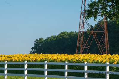 Sunflowers - Neuse River Trail 2017