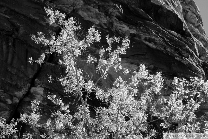 """""""Ice Box Glow"""" ~ Glowing leaves of a tree against a backdrop of the sculptured rock faces of Ice Box Canyon near Las Vegas, Nevada."""