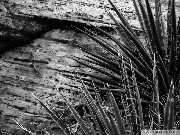 """Yucca & Stone"" ~ B&W composition of Mojave Yucca plants and a large weathered sandstone within Red Rock Canyon near Las Vegas, Nevada."