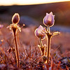 Pasqueflowers at Sunset