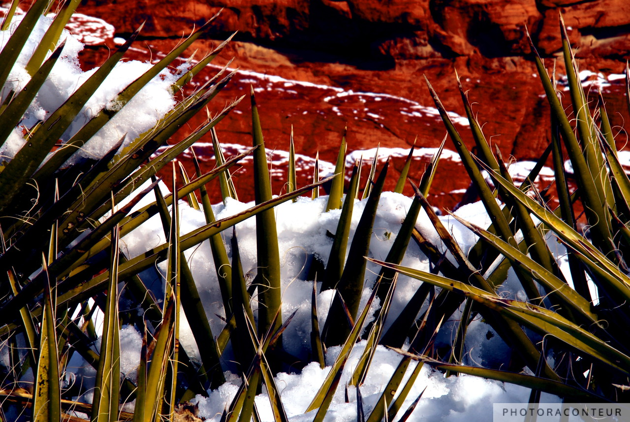 """Snow and Yucca, Red Rock Canyon"" ~ Close-up of snow and Yucca plants backed by the Calico Hills of Red Rock Canyon, Nevada."