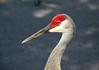 Portrait of a Sand Hill Crane 3