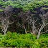 Shore Pine Trees on the Oregon Coast