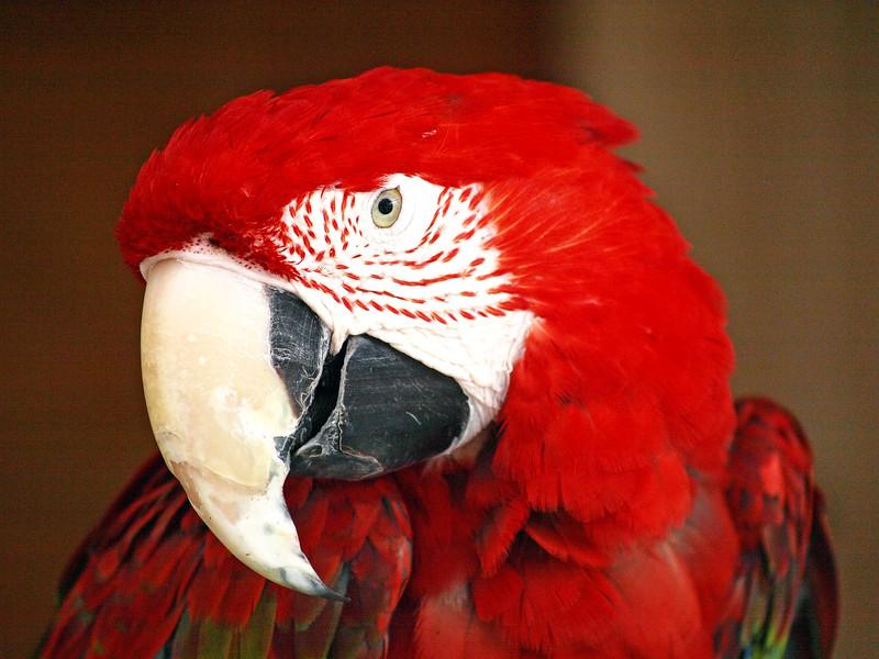 Gatorama Macaw