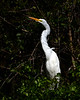 Great Egret 3