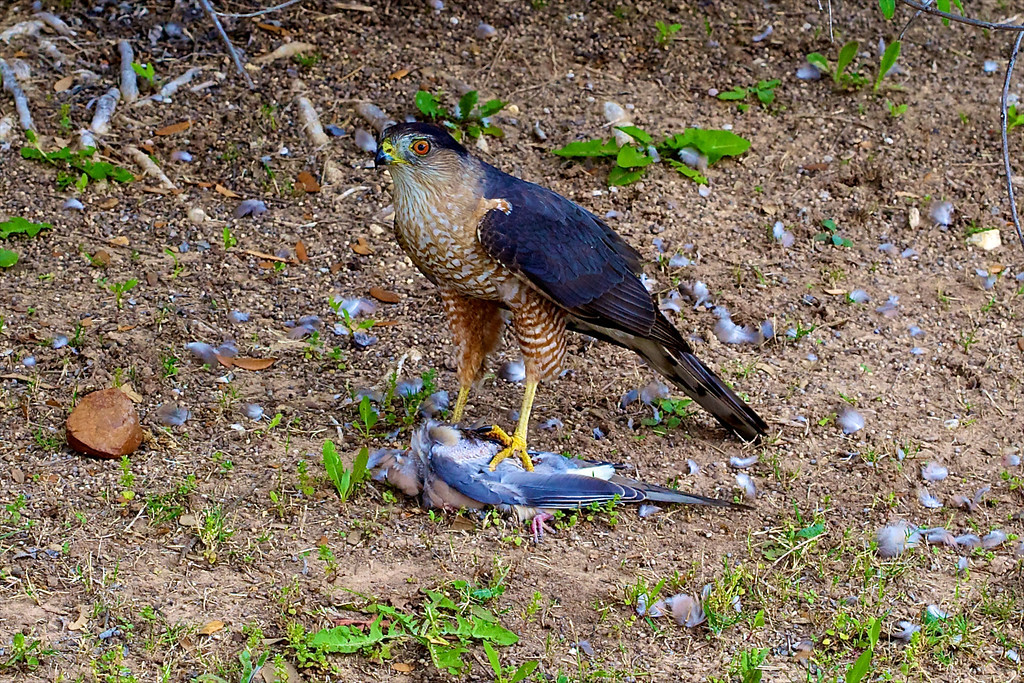 Sharp Shinned Hawk and Supper