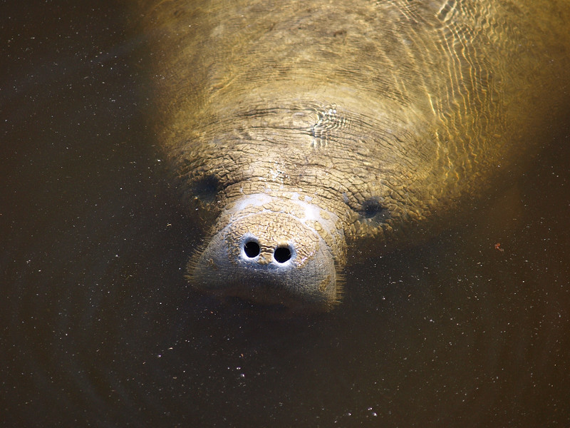Face of a Manatee