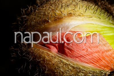 "Poppy Bud ""Mother Nature"" Photography by Naomi Clarke."