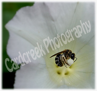 Bee on Pansy