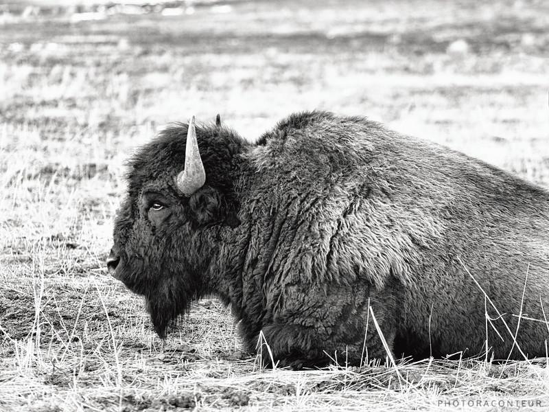Lazy Buffalo