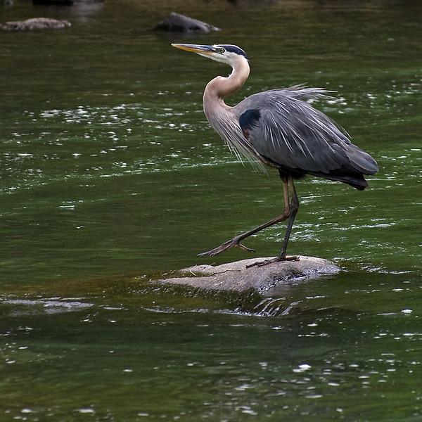 Blue heron tap dancer