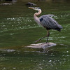 Blue heron tap dancer
