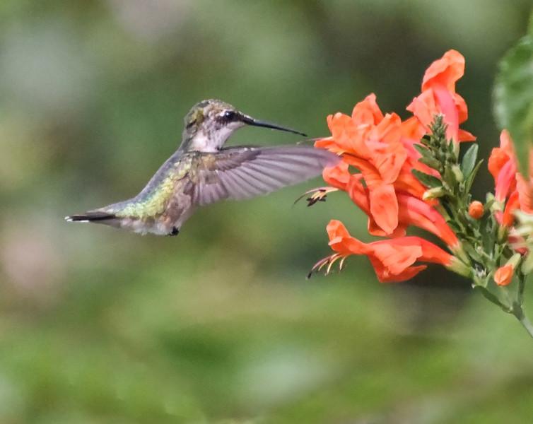 Humming Bird 3