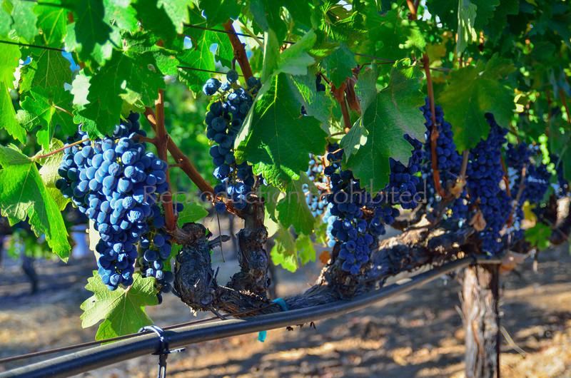 Harvest St. Helena, CA. September 20, 2013