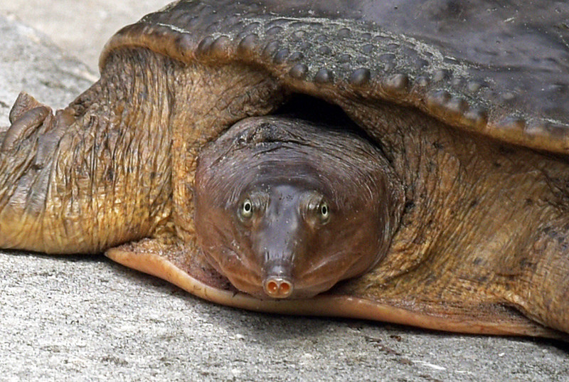 Florida Softshell Turtle 1