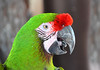Green macaw 1