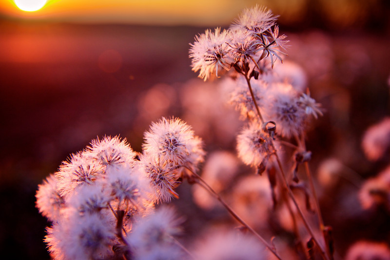 Roadside Weeds at Sunset