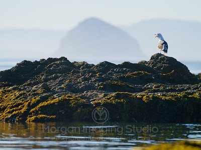 A Seagull Calling